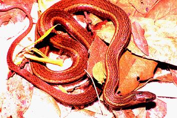 Snakes Of New York