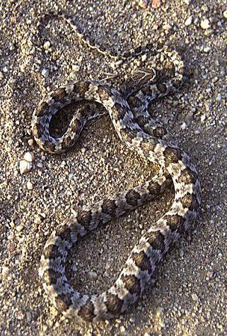 Venomous Reptiles N Amer