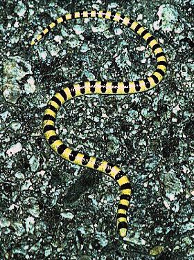 sand snakes names
