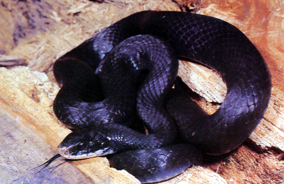 picture of king snake in florida